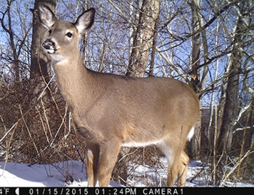 Winter Food Plots for Deer – forage soybeans and brassicas
