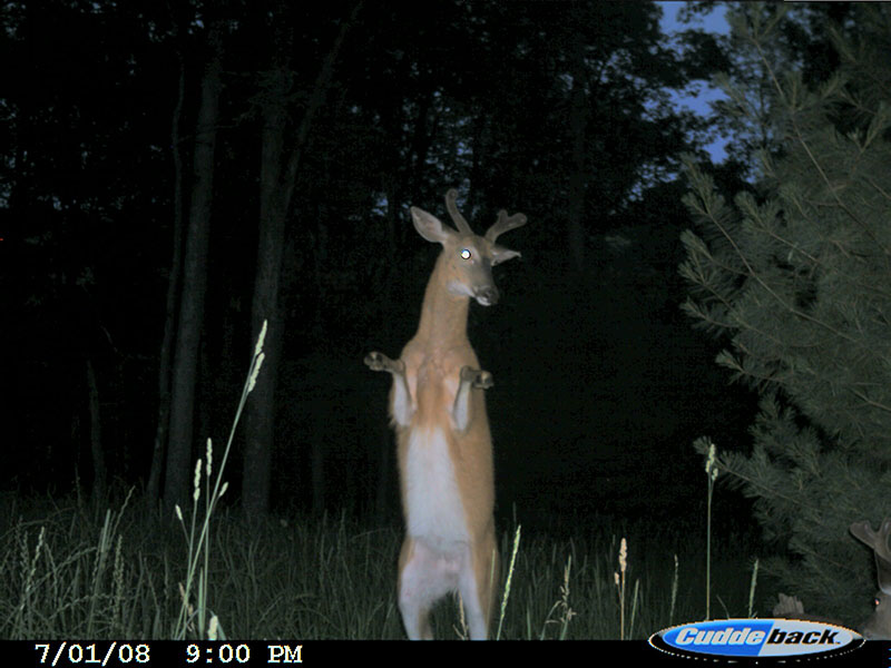 Buck on Game Cam