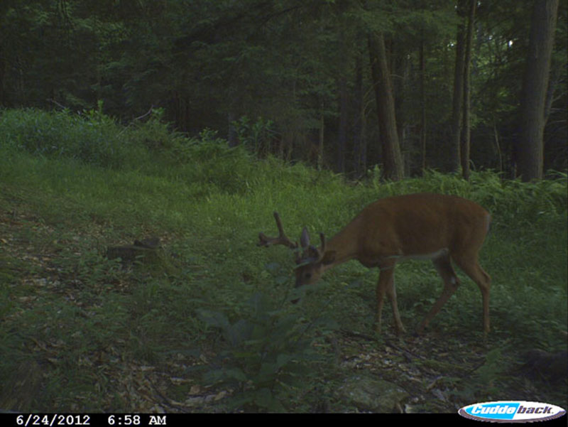 Nine Point Buck in Food Plot