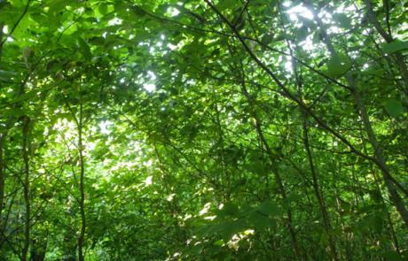 heavy beech canopy