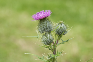 A Spear Thistle,native to America